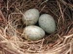 eieren-merel